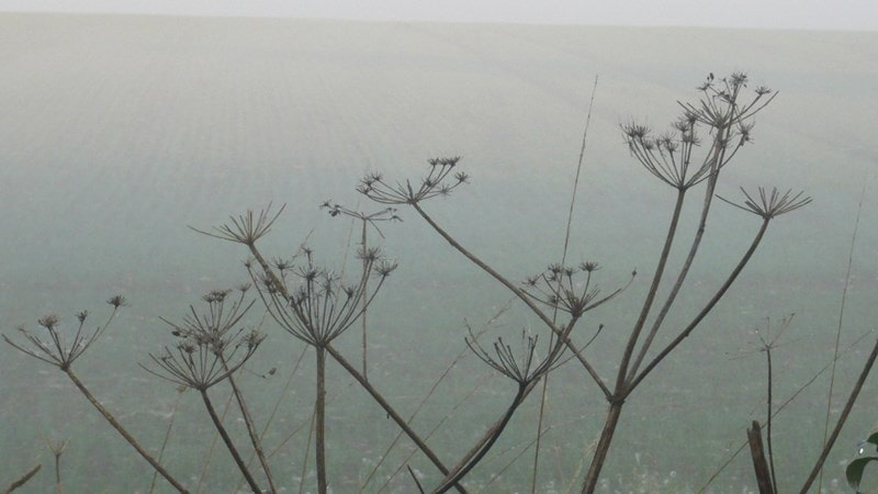 Spent cow parsley in the morning mists