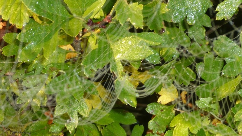 Spider webs on leaves in the morning dew
