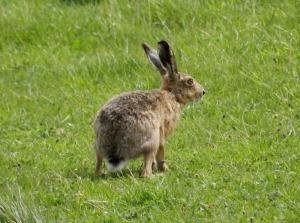 A single brown hare in open grassland