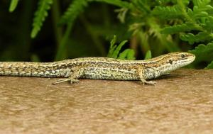 A picture of a Common Lizard against a light vegetation background