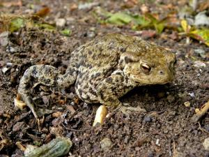 A picture of a Common Toad on a loam soil