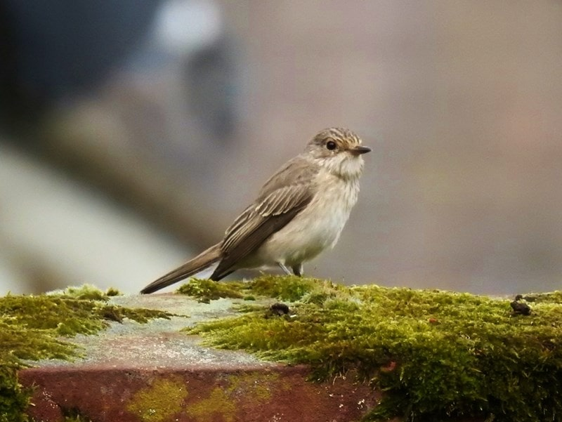 A picture of a Spotted flycatcher on a branch