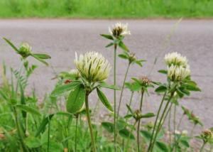 A picture of Sulphur Clover, Trifolium ochroleucon, is a species of clover in the family Fabaceae.