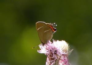 A picture of the white-letter hairstreak, a butterfly in the family Lycaenidae