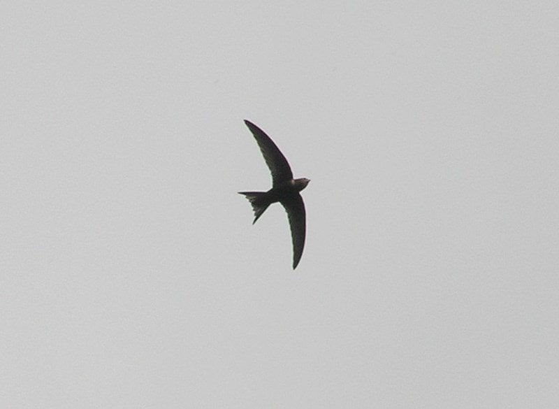 A picture of a Swift in flight against a grey sky