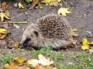 A picture of a hedgehog on late autumn, surrounded by leaves.