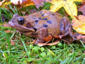 A picture of a Common Frog in light grass and autumn leaves