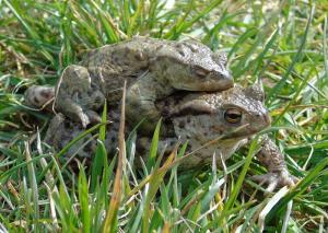 A picture of copulating Common Toads in grassy surroundings
