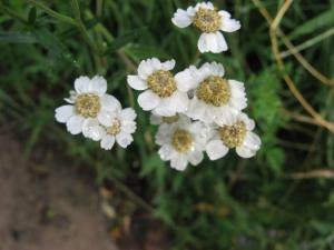 A picture of Sneezewort, Achillea ptarmica, the sneezewort, is a European species of herbaceous perennial flowering plant in the genus Achillea.