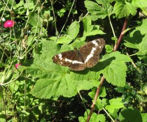 A picture of Limenitis camilla, the white admiral, a butterfly of the family Nymphalidae.