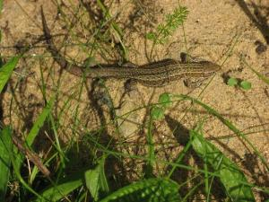 A picture of a Common Lizard on light sandy soil with light vegetation
