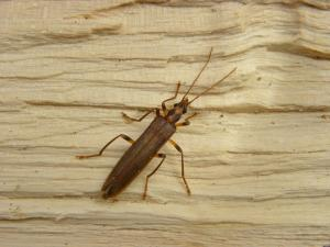 A picture of Oedemera Femorata one of a genus of beetles of the family Oedemeridae, subfamily Oedemerinae