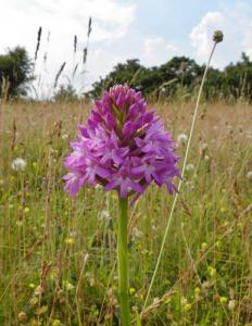 A picture of a Pyramidal Orchid, Anacamptis pyramidalis, is a perennial herbaceous plant belonging to the genus Anacamptis of the family Orchidaceae.