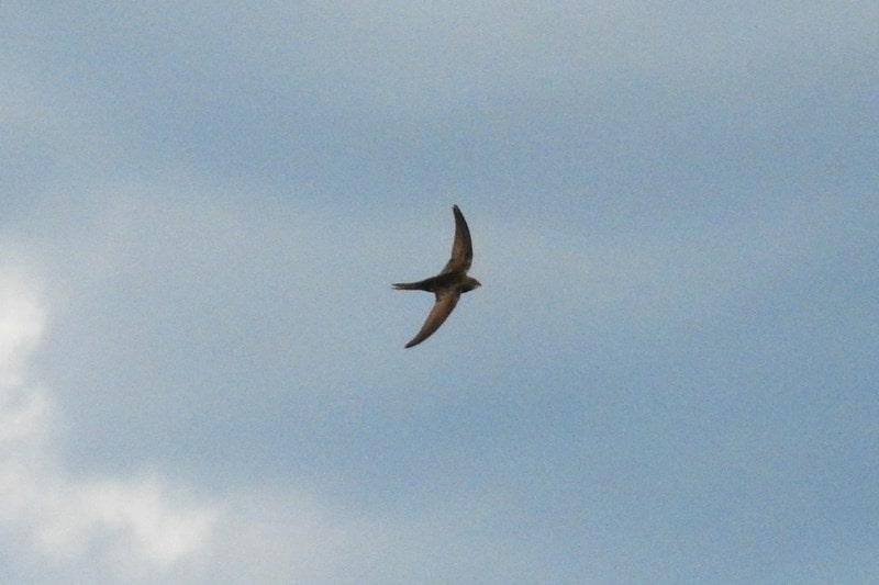 A picture of a Swift in flight against a blue summer sky