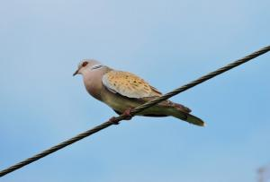 A picture of a Turtle Dove perching on a telegraph wire