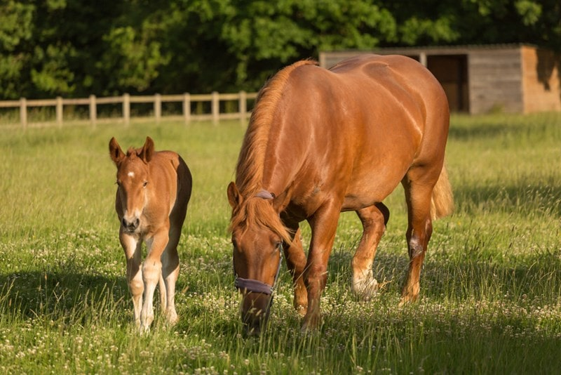 A picture of a Suffolk Punch mother (Daisy) with her foal (June).