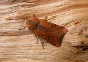 A picture of Agrochola lychnidis, the beaded chestnut moth, a moth of the family Noctuidae.