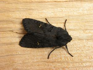 A picture of Aporophyla nigra, the black rustic, a moth of the family Noctuidae.