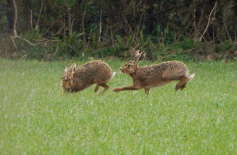 A picture of two brown hares (Lepus europaeus) frollicking in a wheat sown field in early spring.