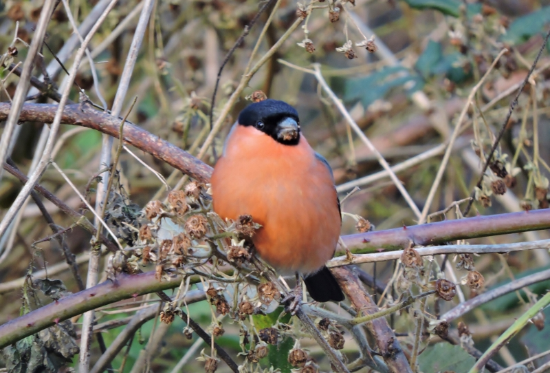 A picture of a male Bullfinch perching on a twig