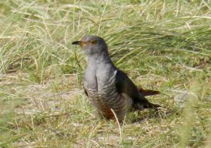 A picture of a Cuckoo on open grassland