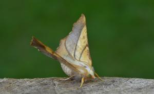 A picture of Ennomos fuscantaria, the Dusky Thorn, a moth of the family Geometridae.