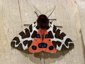 A picture of the Garden Tiger Moth or Great Tiger Moth, a member of the family Erebidae.