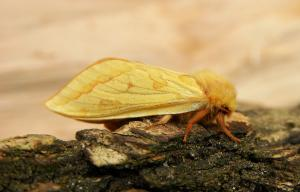 A picture of the ghost moth or ghost swift, a moth of the family Hepialidae.
