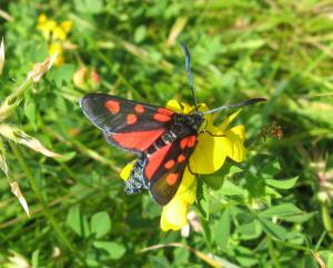 A picture of Zygaena lonicerae, the narrow-bordered five-spot burnet, a moth of the family Zygaenidae.