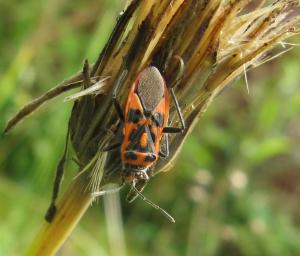 A picture of Corizus hyoscyami, a species of scentless plant bug belonging to the family Rhopalidae, subfamily Rhopalinae. It is commonly called the cinnamon bug or black and red squash bug.