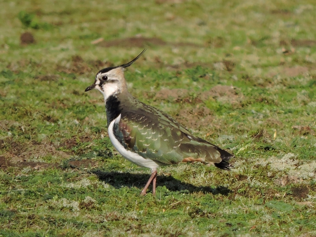 A picture of a Lapwing on open ground