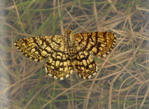 A picture of a Latticed Heath Moth in its grassland environment. Its wings are speckled in yellow hues.