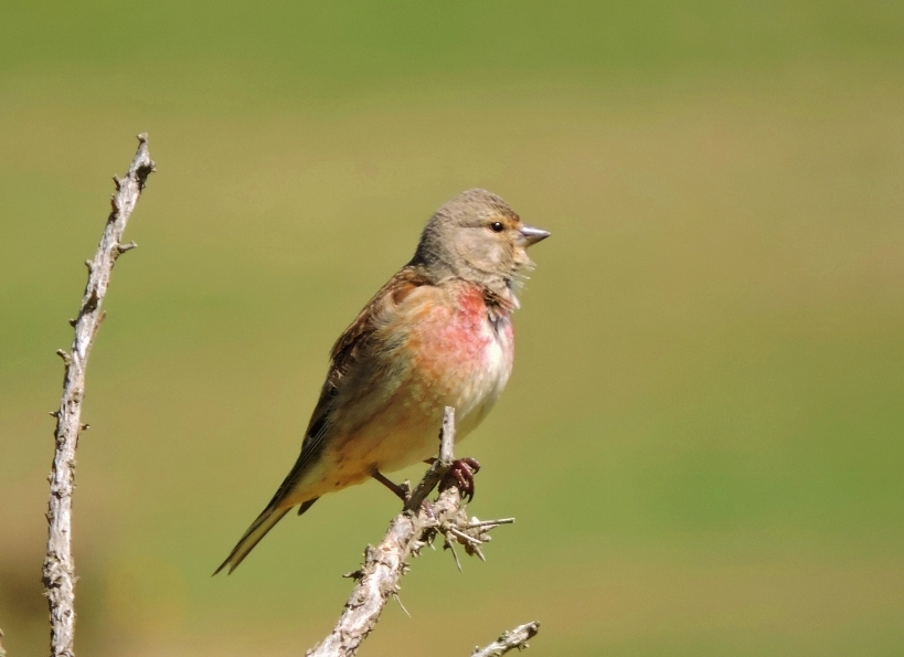 A picture of a male Linnet on a tree branch end