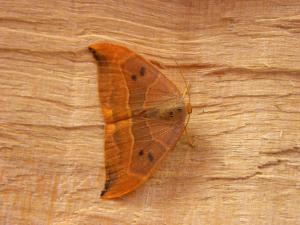 A Picture of the Oak Hook-tip moth, Drepana binaria, a moth of the family Drepanidae.