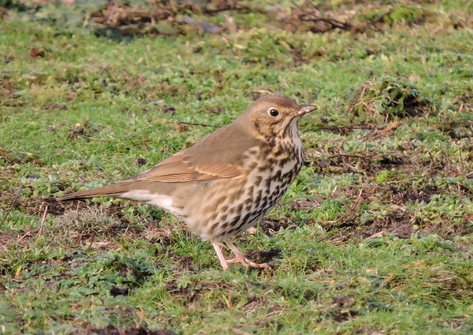 A picture of a song thrush on the ground