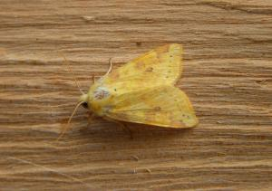 A picture of the creamy yellow Sallow, Cirrhia icteritia, with a wingspan of 32-40 mm.